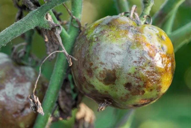 помидор пораженный фитофторой