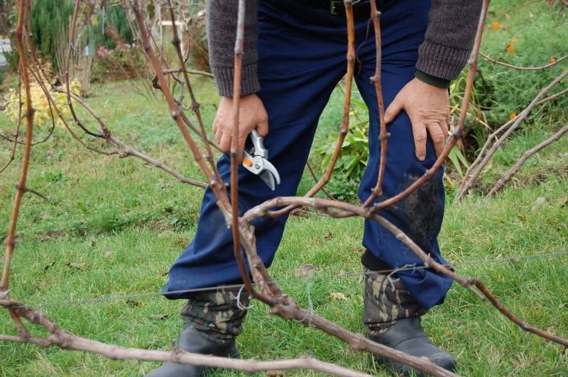 как обрезать виноград прежде чем укрытие