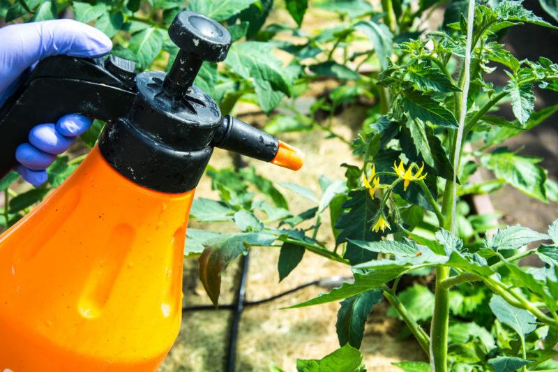 опрыскивание помидор от болезней и для завязи